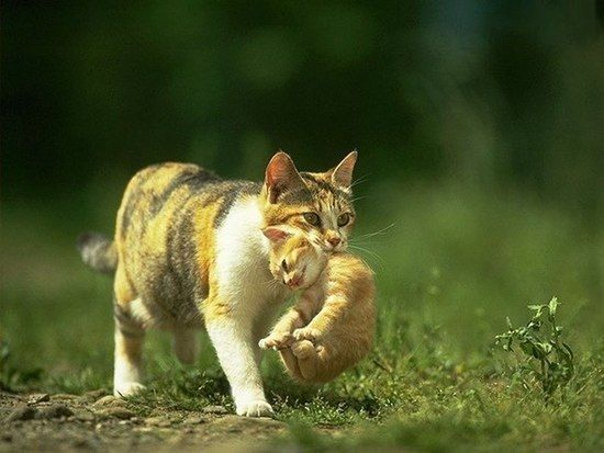 Cats Carry Their Kittens Grabbing Th Funny Cats Baby Animals Funny Kitten Photos