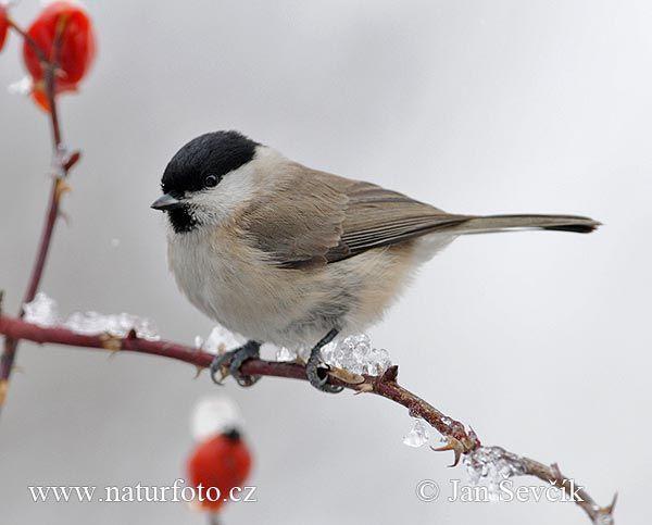 Sykora Babka Parus Palustris Sumpfmeise Nonnenmeise Vogel Fotos