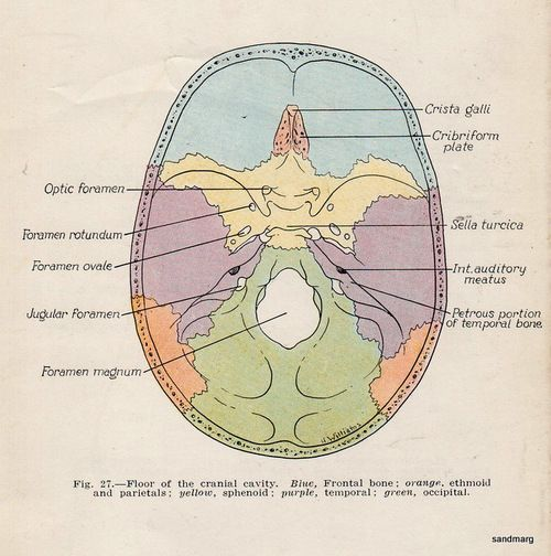 Diagram Of The Cranial Cavity Floor Diy Enthusiasts Wiring Diagrams