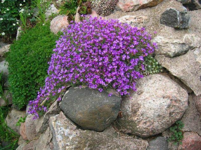 blaukissen bodendecker lila steine blueten deko steingarten | Garten ...