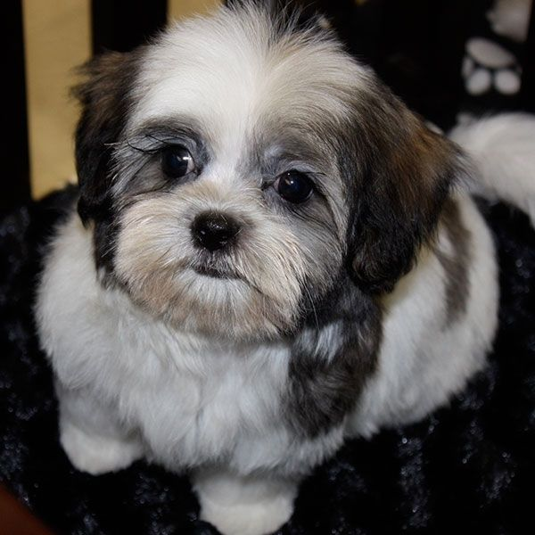 malshi puppies | Mal-Shi Puppy for Sale in Boca Raton, South Florida