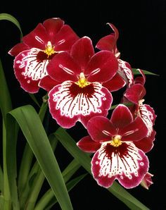 Miltonia Orchid Common Name Pansy Orchid Scientific Name