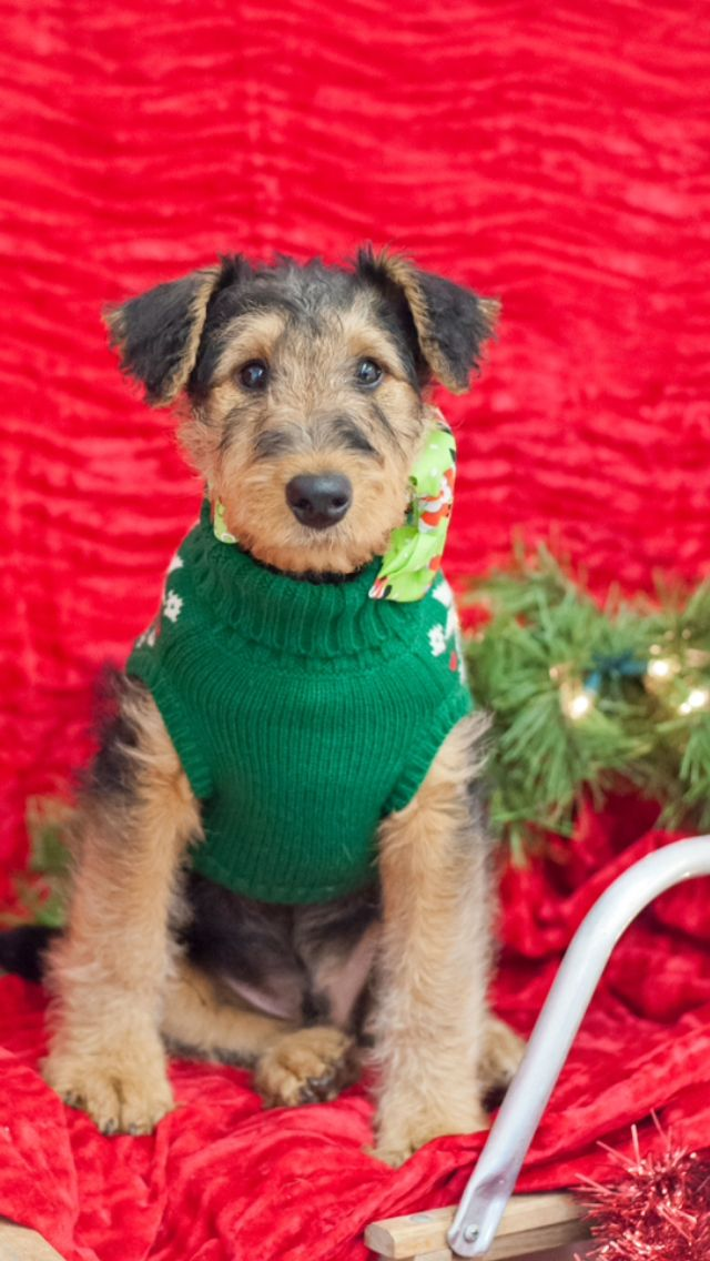 3 Month Old Airedale Terrier Airedale Terrier Cute Animals