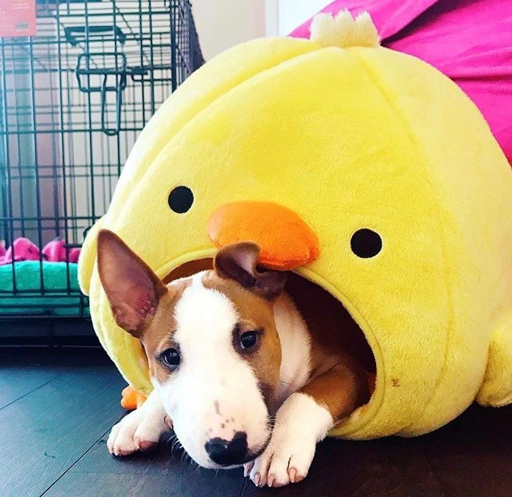 Pin By Calley Croak On Pets Animals Bull Terrier Mini Bull Terriers Pitbull Terrier