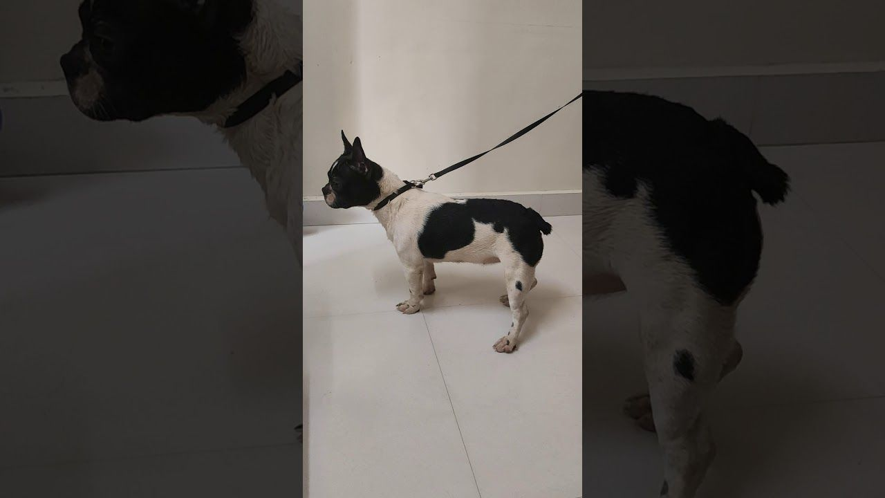 French Bulldog Female Available In Pune Co Click For Number Sky