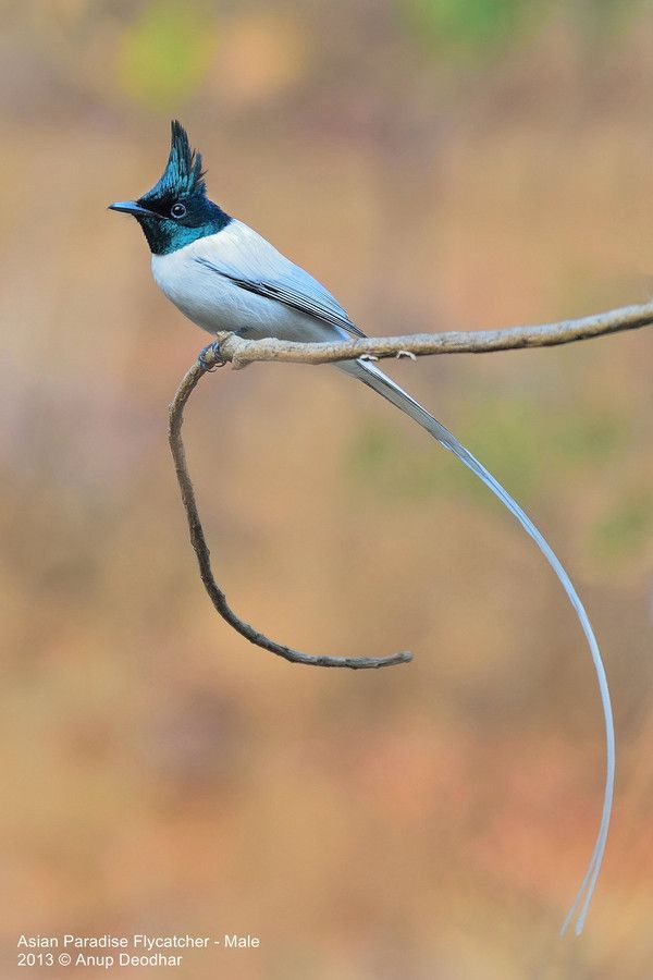 500px / Photo Asian Paradise Flycatcher - Male by Anup Deodhar #Christmas #thanksgiving #Holiday #quote