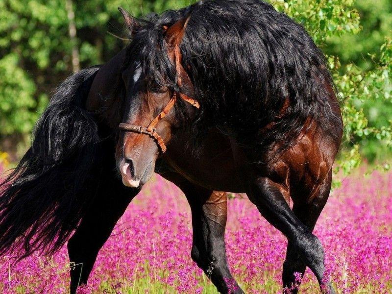 Les Fonds D Ecran Un Pure Race Espagnol Dans Un Champ De Fleur Jolis Chevaux Cheval Bai Animales