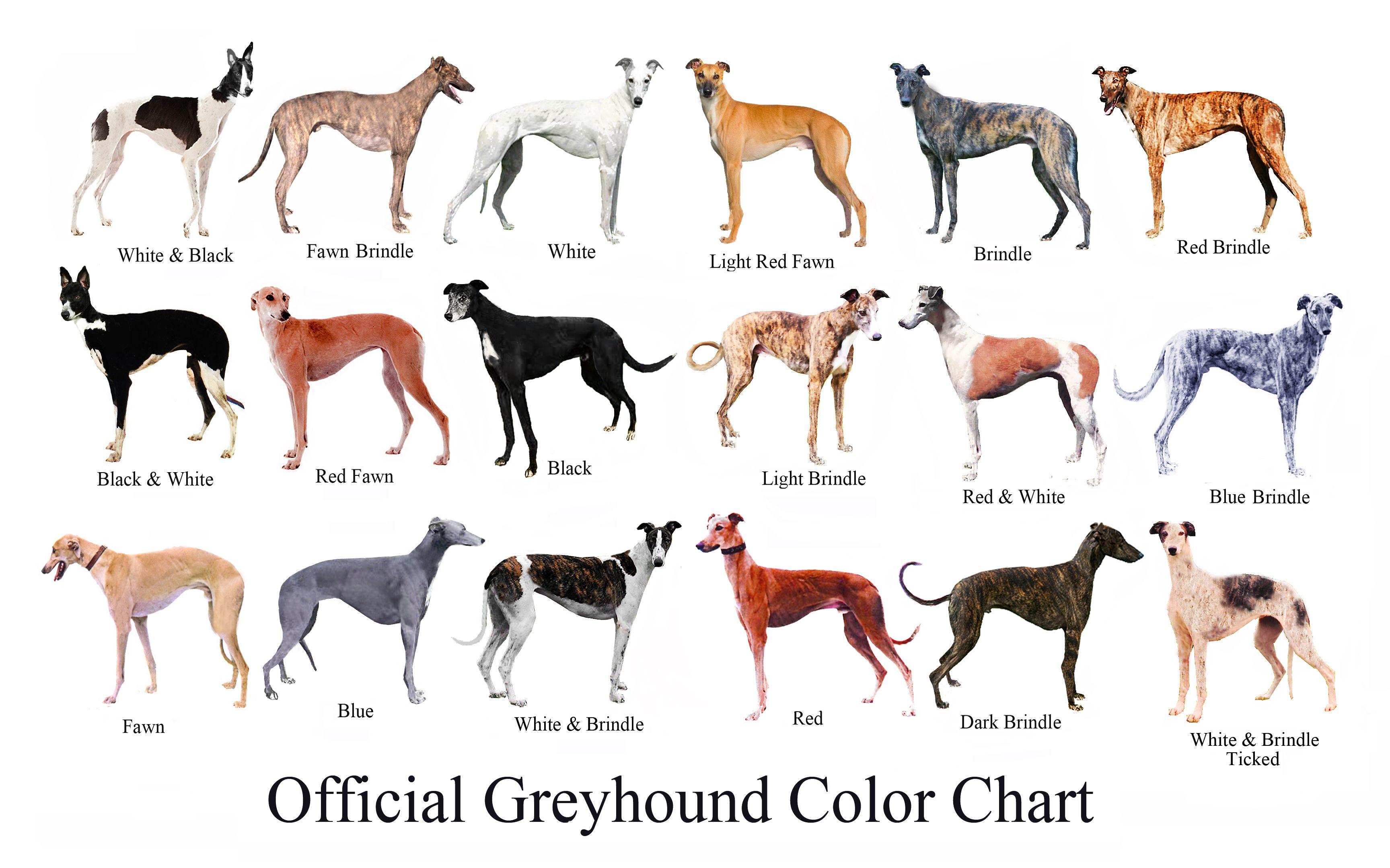 official-greyhound-color-chart.jpg (imagem JPEG, 3456 × 2160 pixels ...