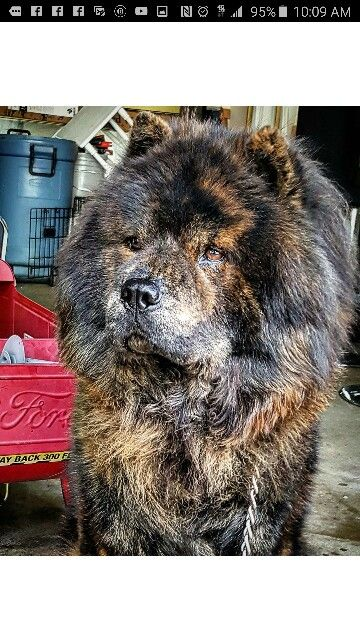 Not Your Ordinary Chow Chow His Name Is Shmuel And He S A Pure