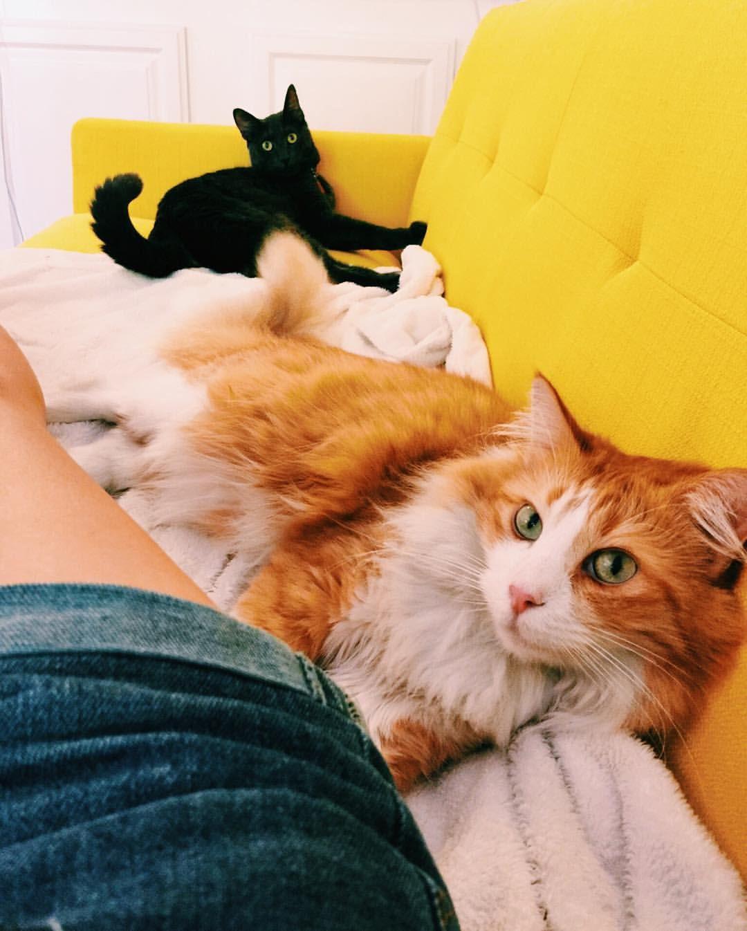 Russian Blue Kittens For Adoption California
