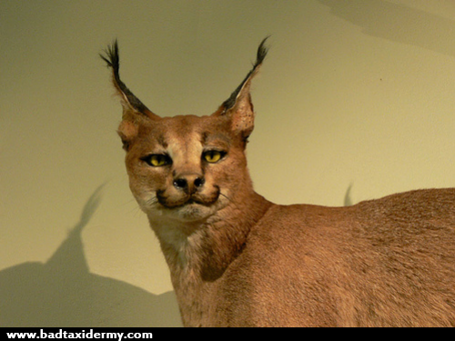 f2f61cef1e7e915652197318ab52ad66 wow this african lynx looks dopey funny taxidermy pinterest