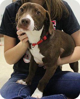 Adopt Marlowe On Ohhhemmmgeee Spaniel Dog Dogs Pet Care