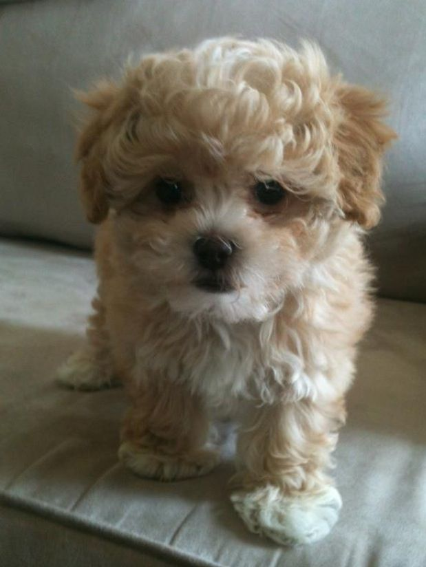 shih tzu and poodle mix toy shih poo shih tzu and toy poodle puppy love cute 2650