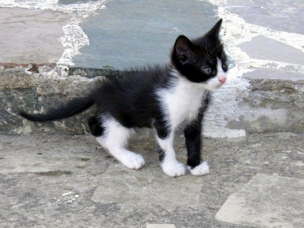 Cat Breed Of The Day The Tuxedo Cat Cat Breeds Tuxedo Kitten Purebred Cats