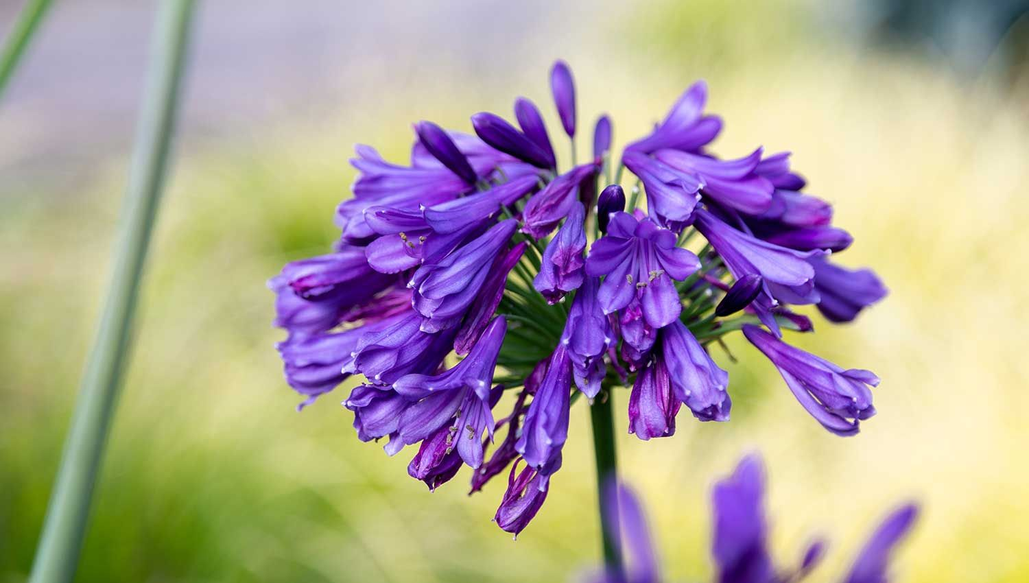 Ever Amethyst Agapanthus In 2020 Agapanthus Plants Blue Flowers