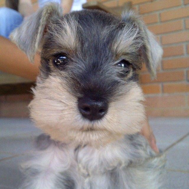 ~~ Schnauzer Baby ~~   Miniature schnauzer puppies ...