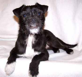 Ollie The Jack Russell Terrier Pug Hybrid Dog Jug Hybrid