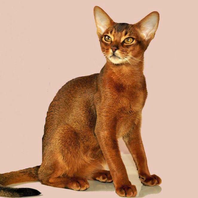 Abyssinian cat club