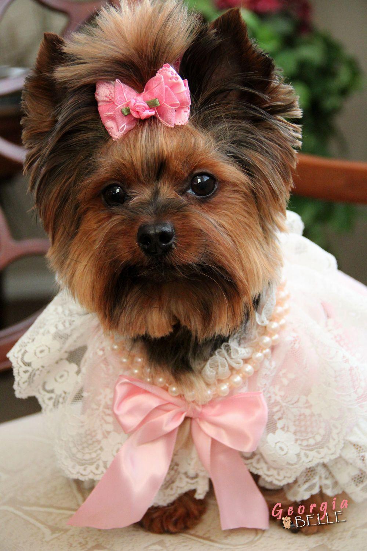 Https Www Facebook Com Ownedbyyorkies Yorkshire Terrier Puppies Yorkie Dogs Yorkshire Terrier