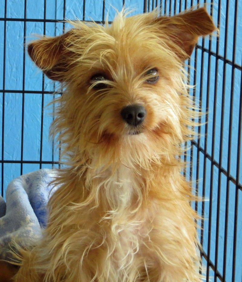 Lindy, is a sweet 46 month old female YorkieTerrier mix