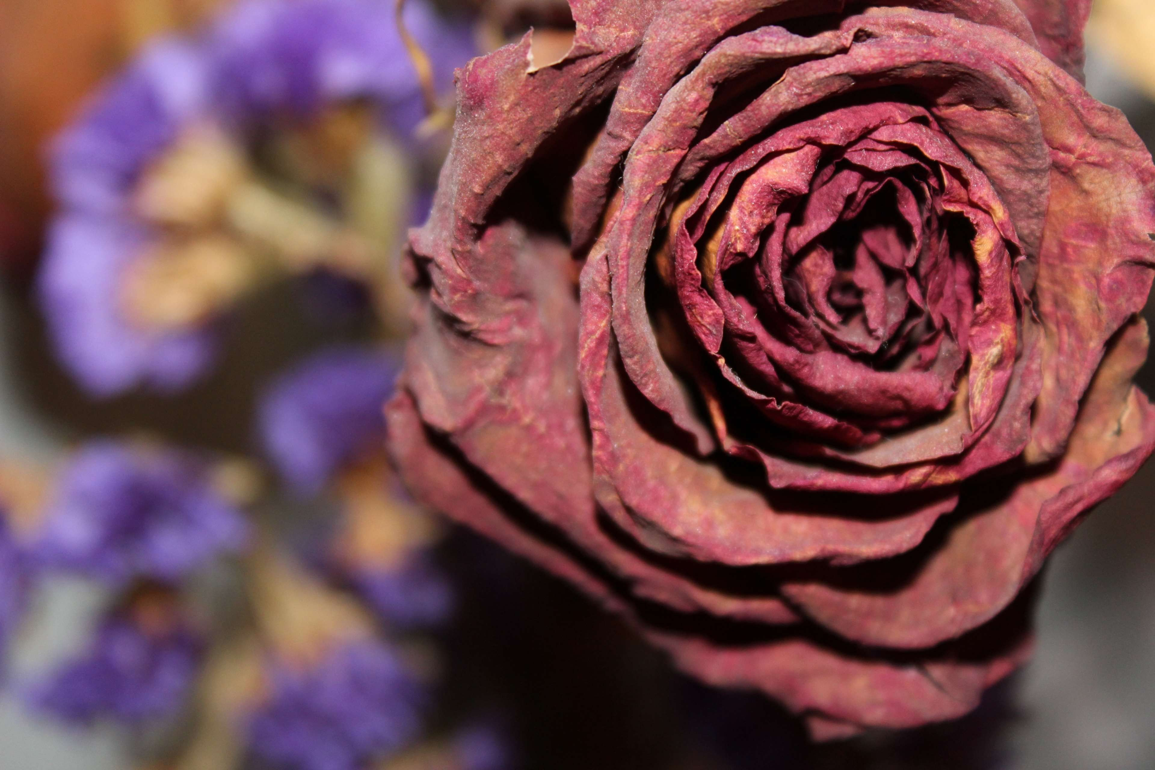 Dead Dried Dried Rose Dry Floral Flower Fragile Leaves Love Old Plant Red Rose Valentine Rose Flowers Dried Floral