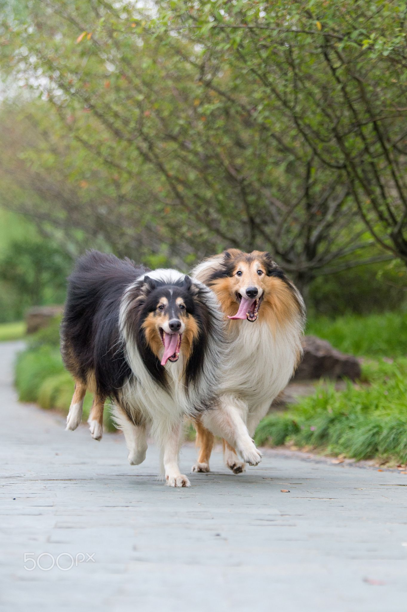 Rough Collie S Family Rough Collie Dog Breeds Sheltie Dogs
