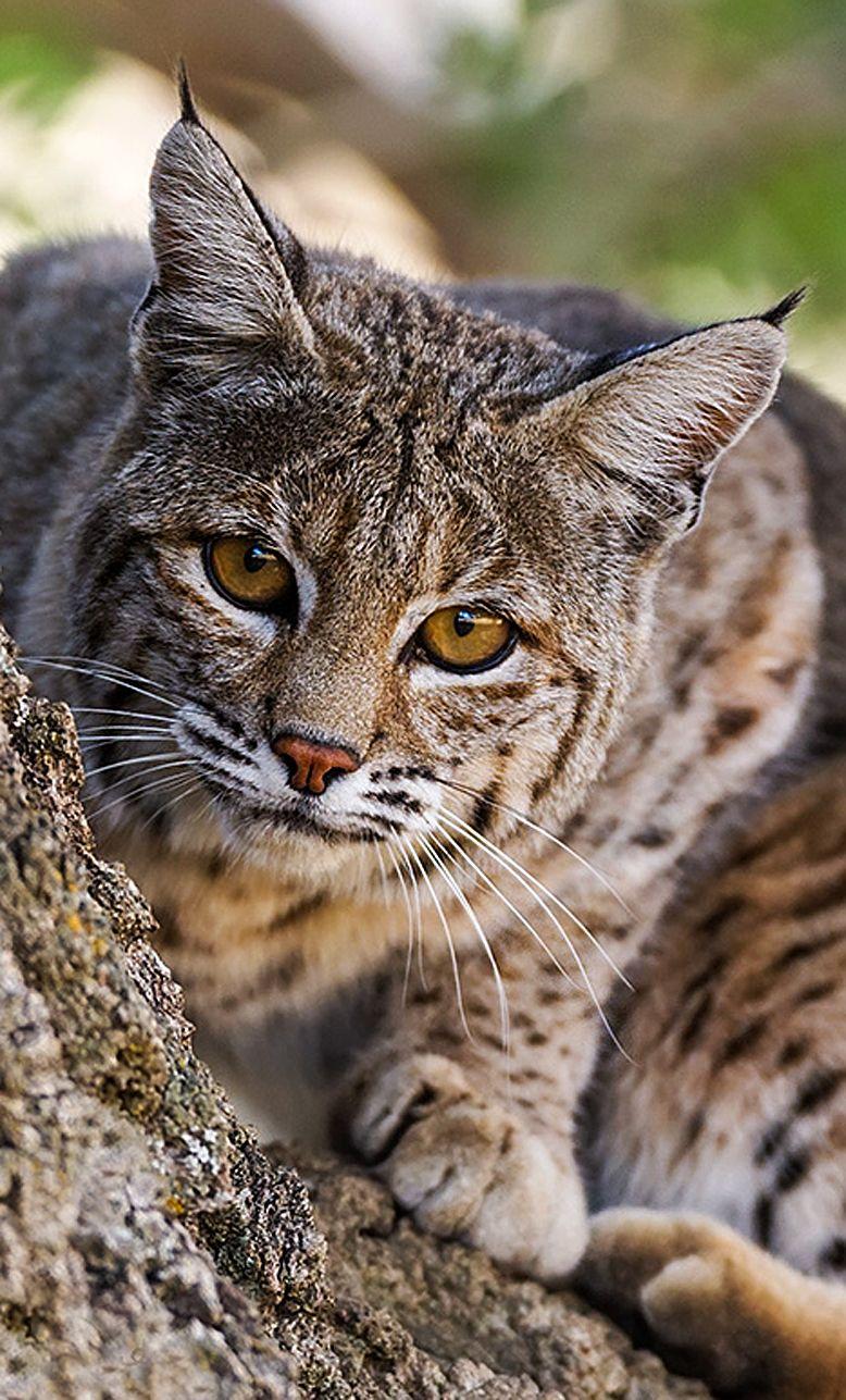 Female Bobcat Cats Small Wild Cats Animals Wild