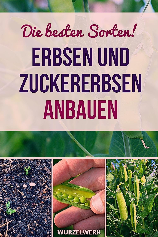 Erbsen & Zuckererbsen pflanzen und anbauen - Wurzelwerk