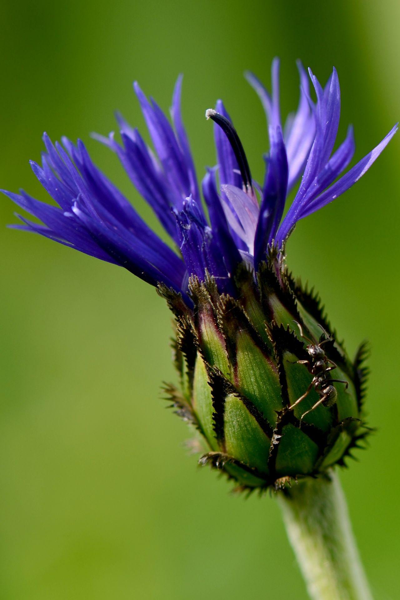 True Blue Bachelor S Button A Clear Choice For Beginning Gardeners Bachelor Button Flowers Beautiful Flowers Blue Flowers