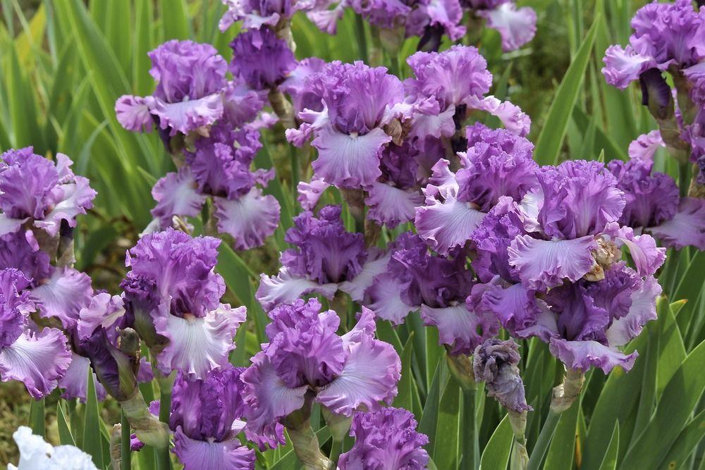 Irises Cubit Our Iris Database Database Bolshoi Iris Most Beautiful Flowers Beautiful Flowers