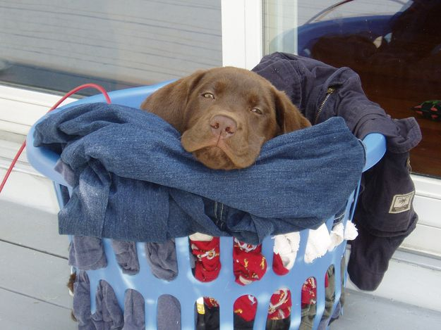 Community Post: 15 Puppies in Laundry Baskets