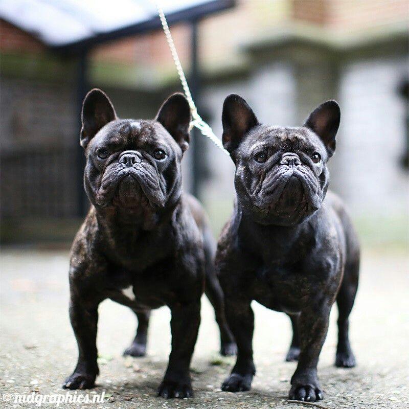 French Bulldog Twins French Bulldog Cute Animals My Animal