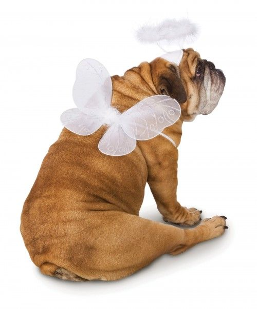 English Bulldog Angel W Wings And Halo Pet Dog Costume Funny