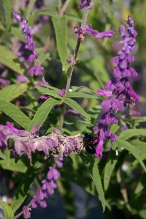 Mexican Bush Sage, Purple