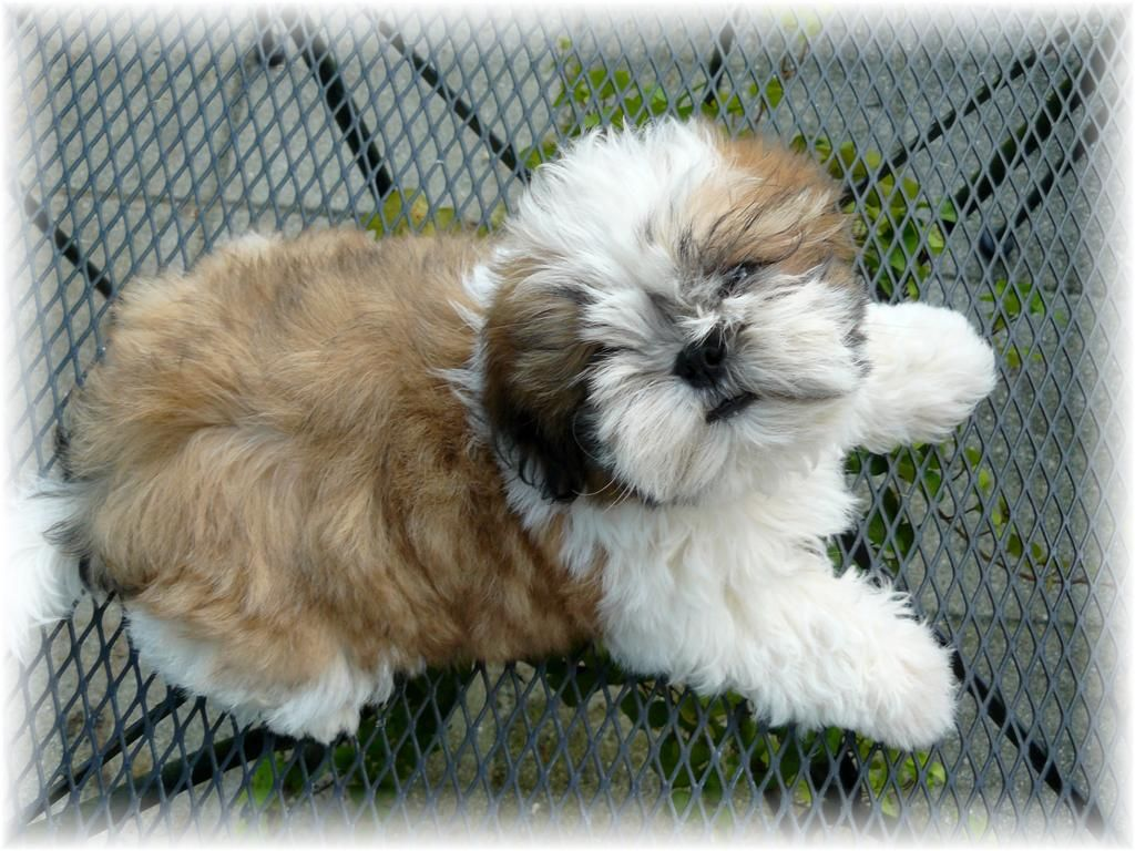 Shih Tzu Puppies For Sale In Ny Ga Shih Tzu Shih Tzu Puppies For