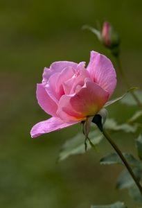 Gambar Setangkai Mawar Pink Download Kumpulan Gambar Keren Roses Garden Dan Garden Roses