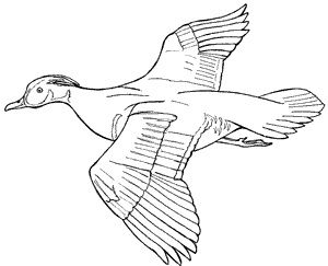 Wood Duck Drawing Google Search Wood Ducks Drawings