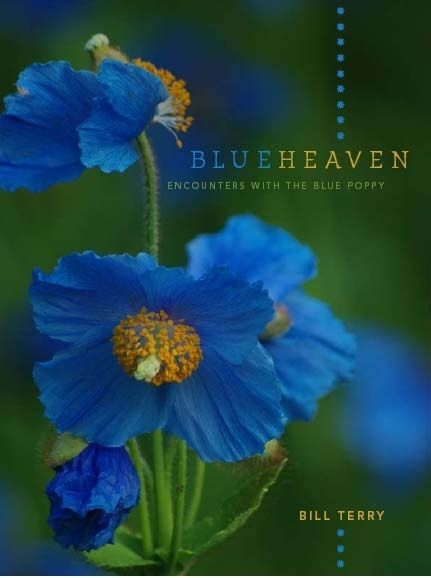 Himalayan blue poppy meconopses belong to the poppy family himalayan blue poppy meconopses belong to the poppy family papaveraceae but they are not true poppies papaver meconopsis home page mightylinksfo