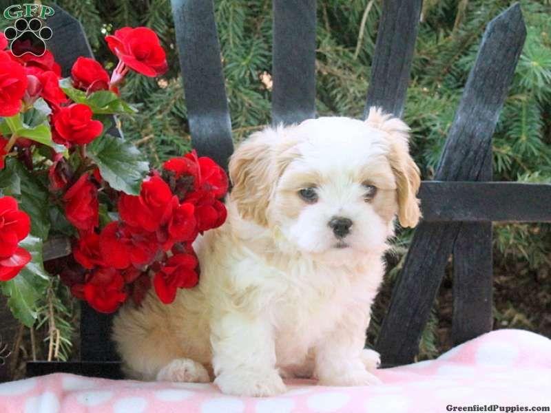 Pearl Cava Tzu Puppy For Sale In Pennsylvania Puppies For Sale