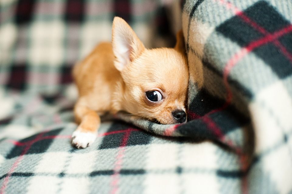 Chihuahua Dogs 101 Omg Facts About Chihuahua Dog Animals