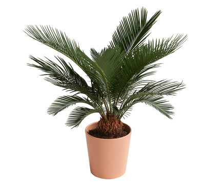 Jetzt Palmfarn Kaufen Im Onlineshop Von Dehner Robuste Dekorative Zimmer Oder Kubelpflanze Farnahnliche Blatter Kann Im Sommer Auch D In 2021 Kaktus Farn Pflanzen