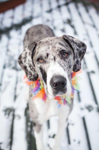 Adopt Naga On Great Dane Dogs Great Dane Rescue Animal Rescue