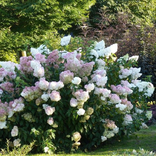 hortensia hydrangea paniculata vanille fraise. Black Bedroom Furniture Sets. Home Design Ideas