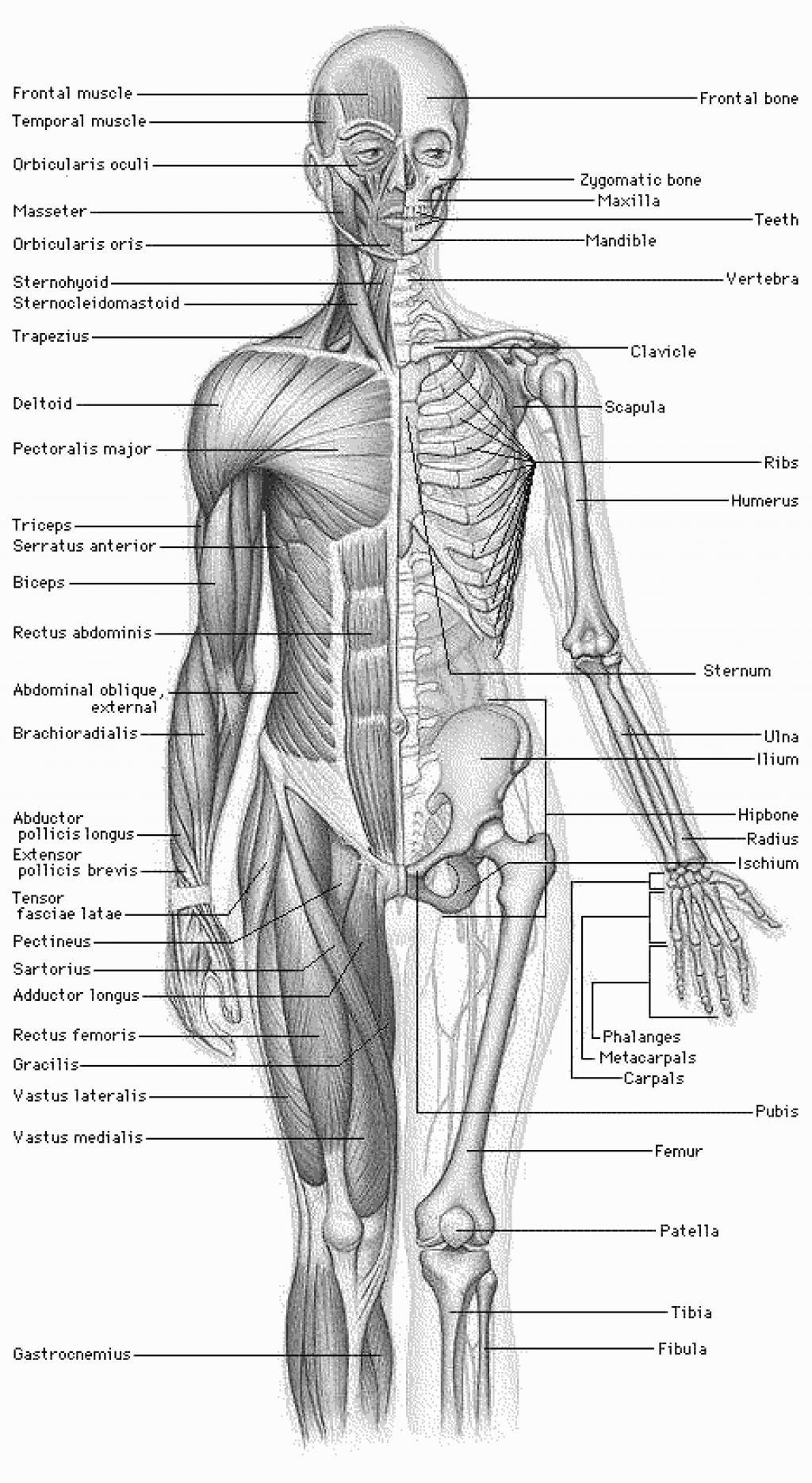 Pinterest • The world\'s catalog of ideas | Human Muscle Anatomy ...