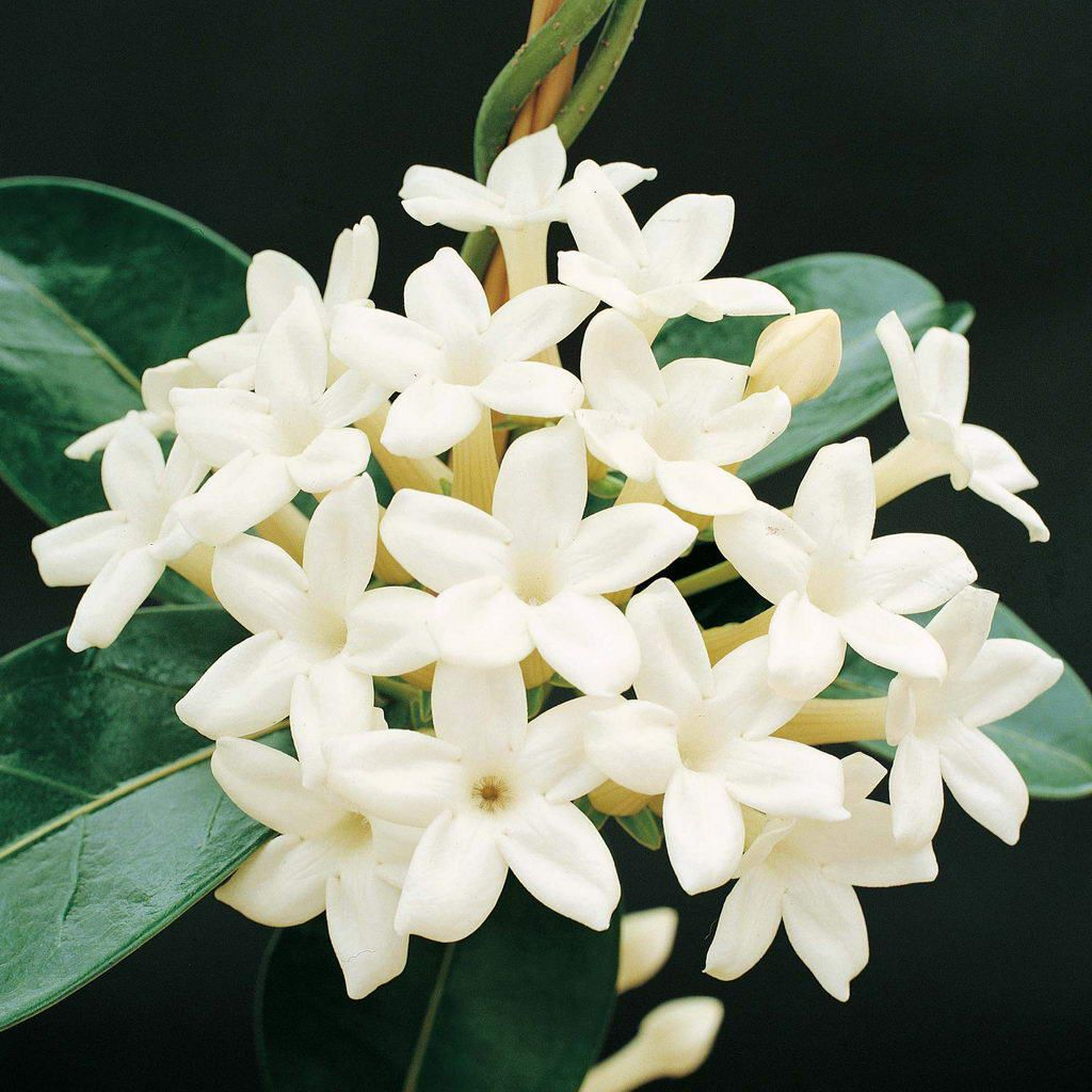 White Jasmine Flowers Pictures Wallpaper Flower Wallpaper