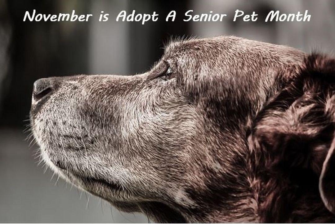 November is Adopt a Senior Pet Month Senior pets often