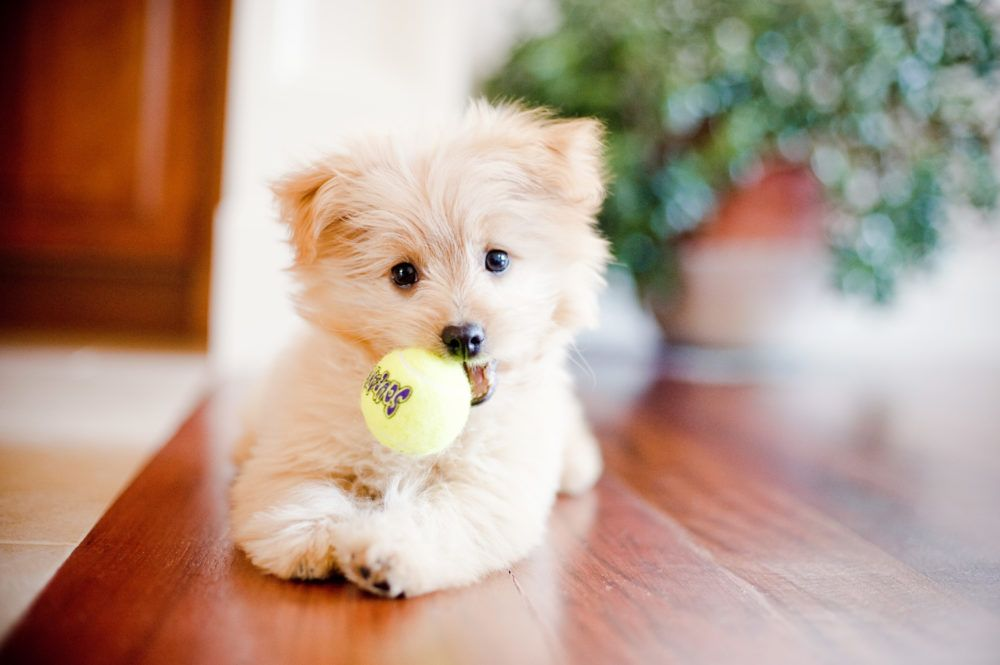 Pomapoo Pomeranian Poodle Mix Breed Information Cute Dogs