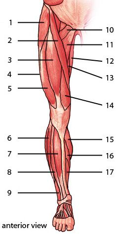 The muscles of the lower limb anterior aspect about pinterest the muscles of the lower limb anterior aspect ccuart