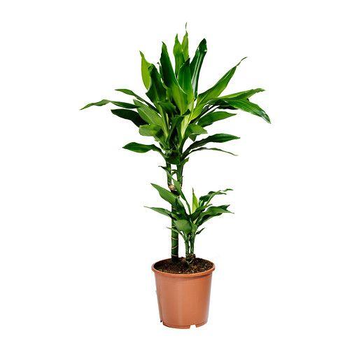 Corn plant low light dracaena janet lind plante en pot for Plante ikea