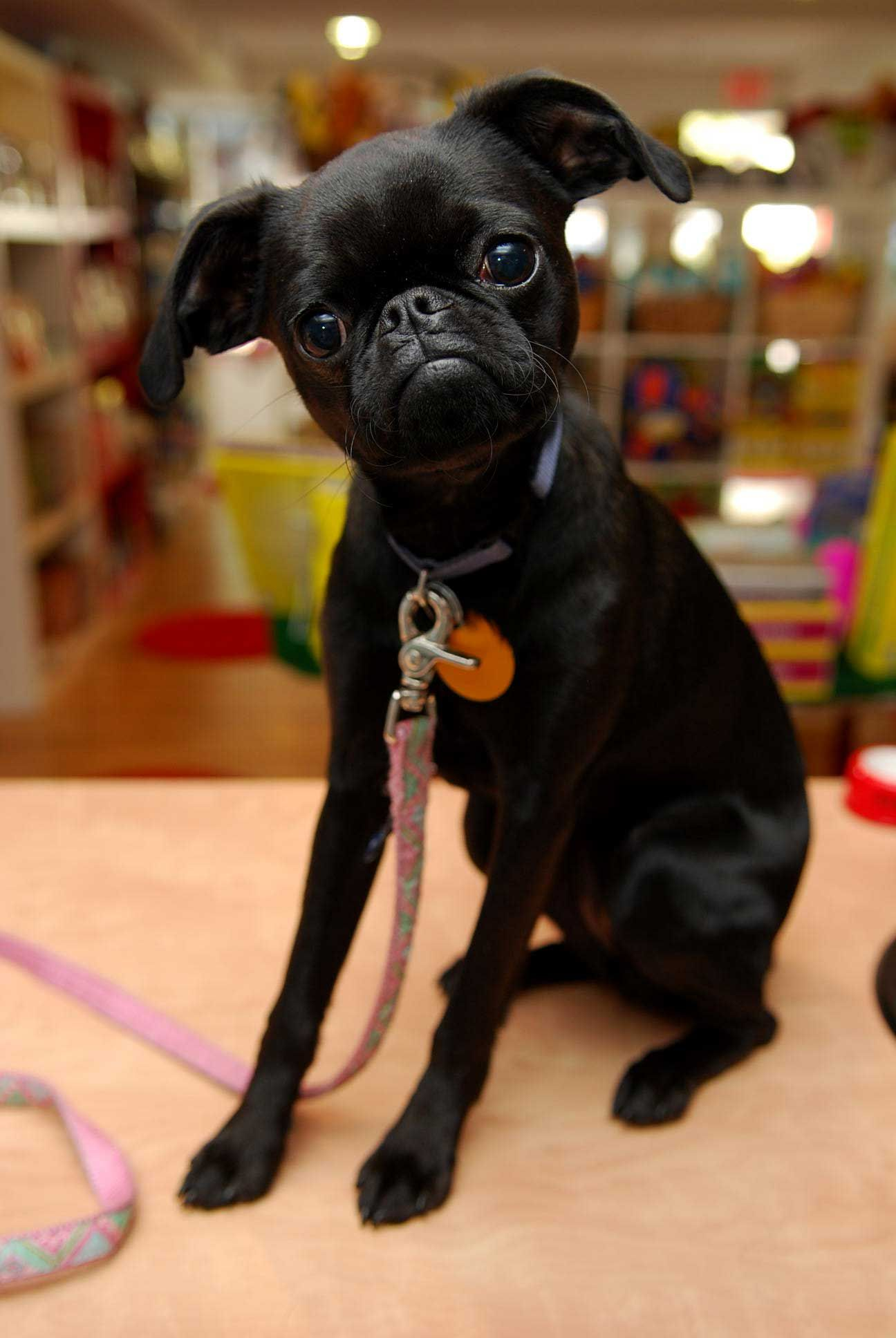 Black Brussels Griffon Puppy! @Jessica Brown You need this